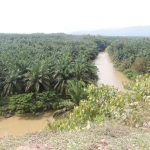 sumatra palm