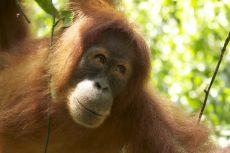 Les Oranghutans de Sumatra